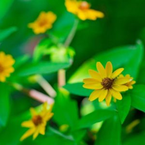 Yellow landscaping flowers