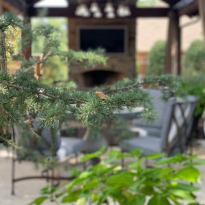 Closeup of pine tree branch for backyard landscaping customer